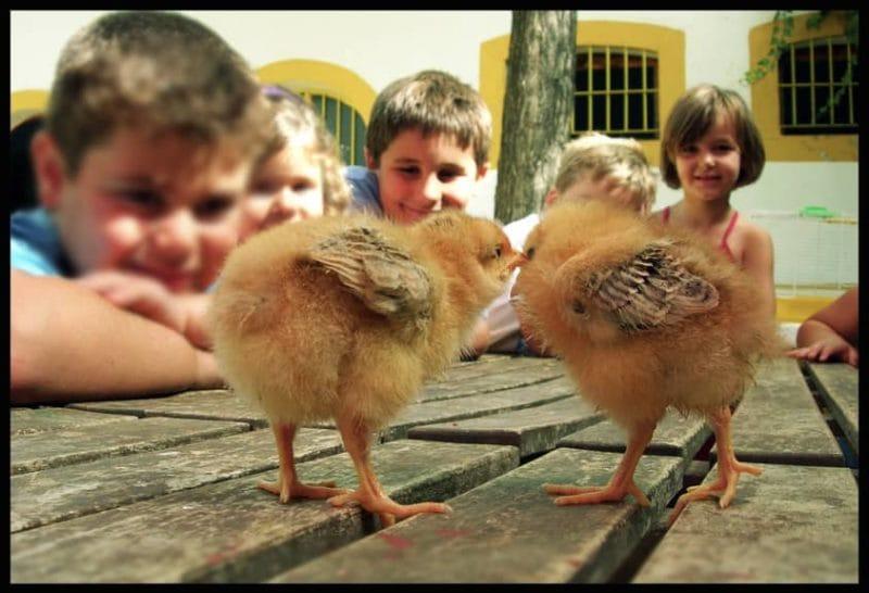 Lindos pollitos de La granja escuela La Buhardilla